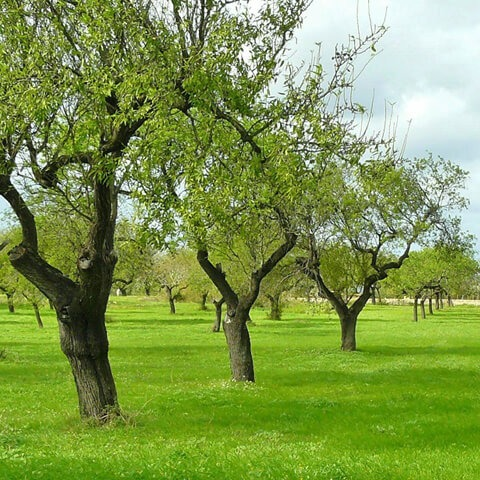 green olive trees