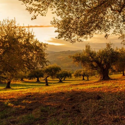 olive trees plantation